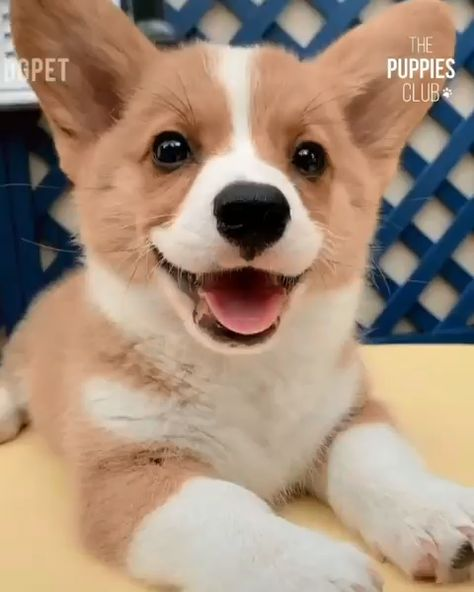 Funny Corgi Dog video