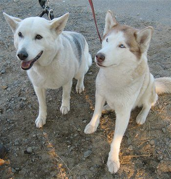 The Difference Between The Alaskan Husky And The Siberian Husky