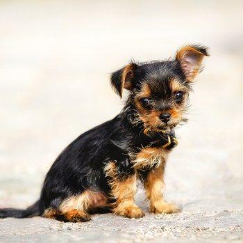 Chorkie Chihuahua Yorkie Cjk Yorkie Mix Yorkshire Terrier Yorkie Chihuahua Mix