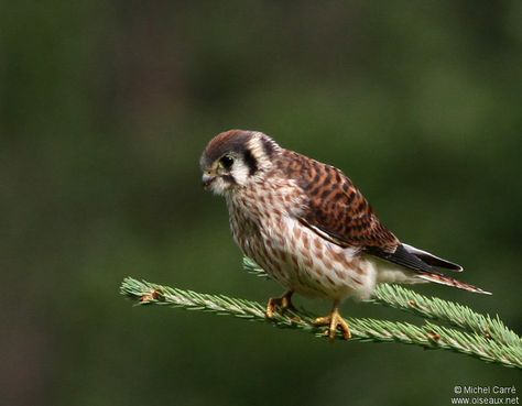Crécerelle d'Amérique - Falco sparverius