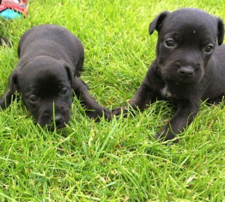 Patterdale Terrier Puppies Carnforth Patterdale Terrier Patterdale Terrier Puppy Terrier Puppies