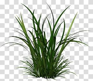 Herbaceous Plant Seed Cymbopogon Citratus Dry Grass Transparent Background Png Clipart Iphone Background Images Green Wall Garden Trees To Plant