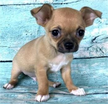 Image Result For Tiny Teacup Chihuahua Puppies Chihuahua Puppies