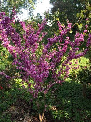 Chinesischer Judasbaum Avondale Cercis Chinensis Avondale Baumschule Horstmann In 2020 Judasbaum Garten Pflanzen Baumschule Horstmann