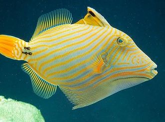triggerfish aquarium with picasso undulated niger care and what