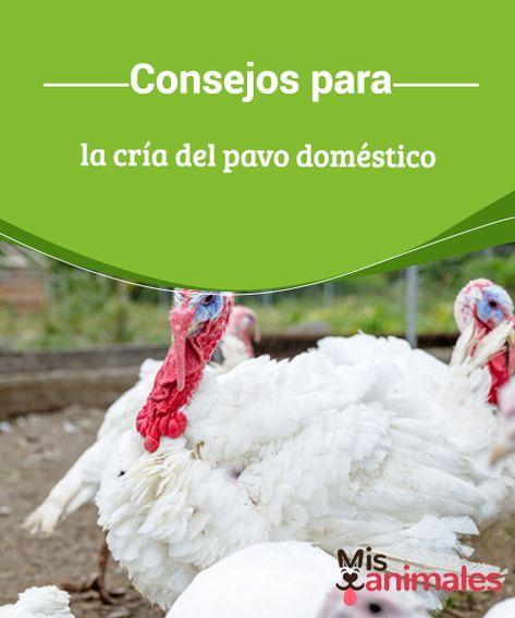 17 Ideas De Cría De Pavos Pavo Aves De Corral Guajolotes