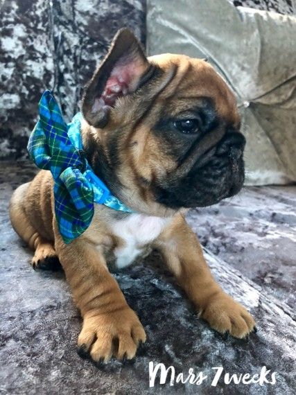 Stunning Kc Reg French Bulldog Puppies French Bulldog Puppies