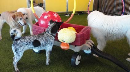 Daycare Colorado Springs Champdog Park Pet Boarding Big