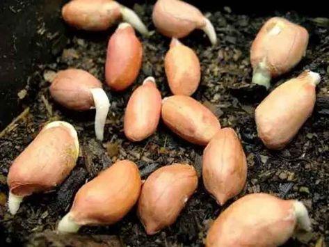 семена горчицы для посадки на огороде