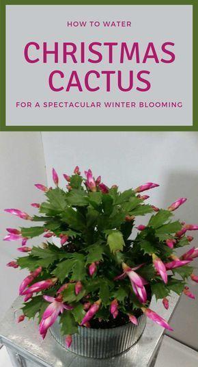 15++ When to fertilize christmas cactus information