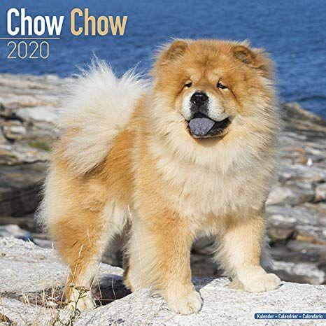 Amazon Com Chow Chows Calendar 2020 Dog Breed Calendar Wall Kathmandu Nepal Dogs For Sale Puppy For Sale In 2020 Chow Puppies For Sale Chow Dog Breed Puppies For Sale