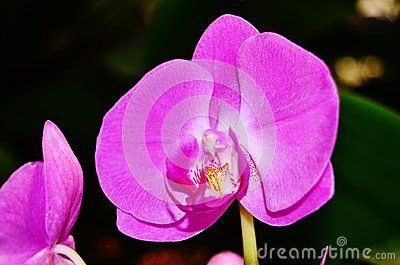 Phalaenopsis Is The Scientific Name For This Purple Orchid Orchids Moth Orchid Flowers Photography