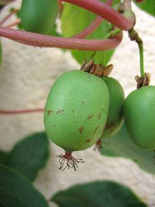 Kiwai 100 Graines Kiwi de Sibérie Kiwi Berry,Actinidia arguta Hardy Kiwi seeds