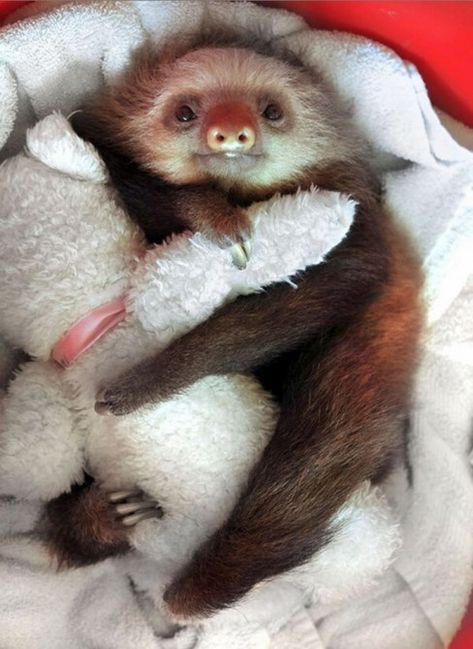 Baby Sloth At The Sloth Sanctuary In Costa Rica Squee - 5 month old baby and sloth are the most unlikely of best friends