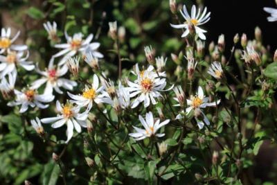 Aster Flower Plants Fall Aster Flowers Live Plants White Etsy Plants Live Plants Blooming Plants