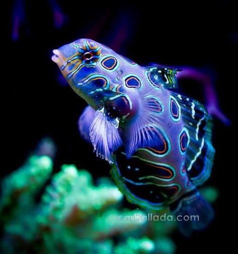 Dragonet fish, twist- purple and green hues, and a fish swims in the water under