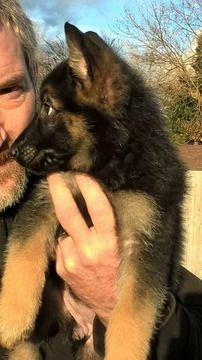 German Shepherd Dog Puppy For Sale In Spokane Wa Adn 56605 On