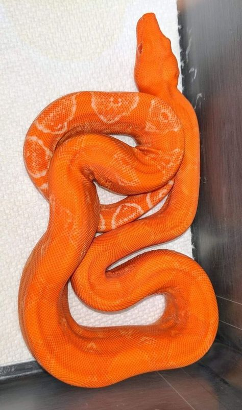 🔥CLICK THE IMAGE TO VISIT US. Things to Consider Before Choosing a Snake as a Pet. When choosing a snake as a pet, realize you are making a long-term commitment because many species can be expected to live over 20 years. You must be willing to feed prey animals to your snake (though previously frozen, pre-killed prey is the safest choice) and you will probably have to devote some freezer space to frozen prey items. #snake #snakes #snaketattoos #snakeart #snakedrawing #snake