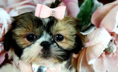 Teacup Shih Tzu Puppies Shih Tzu Puppy Teacup Puppies Shih Tzu