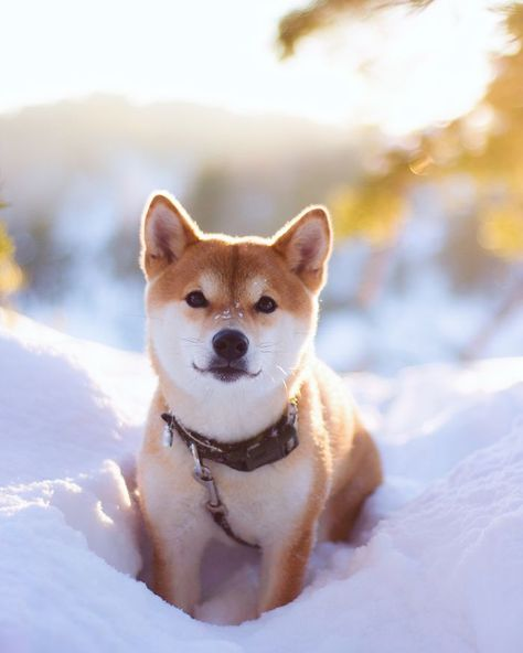 Best Shiba Images On Pinterest Shiba Inu Doge And Dogs - Ryuji the shiba inus endless expressions will melt your heart
