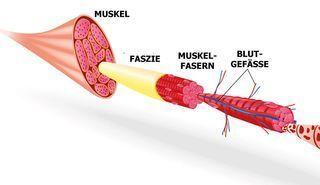 Blackroll Faszien Darum Faszientraining Gut Tut Die Faszien Umhullen Nicht Nur Jeden Muskel Sondern Auch Jede Noch So Kl Faszientraining Muskeln Therapie