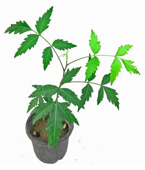 Http Getayurveda Com Benefits Of Neem Leaves For Diabetes Plants Neem Azadirachta Indica