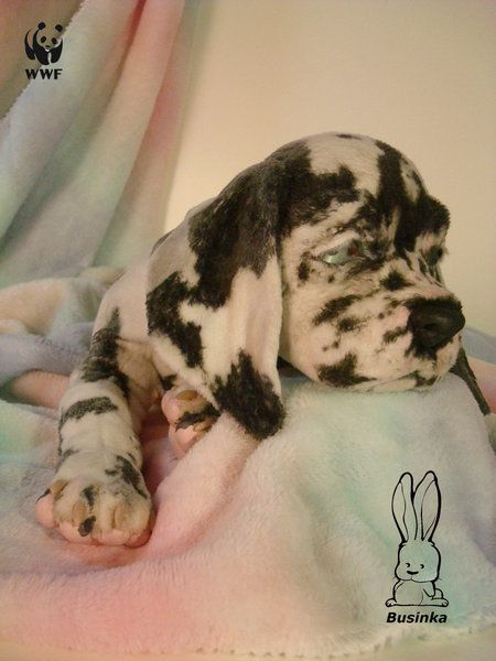 Dane By Olga Ageenkova Businka Great Dane Puppy Puppies Dogs