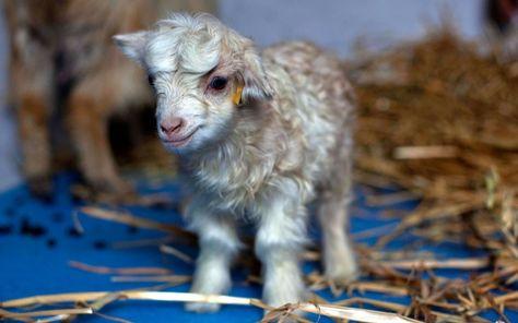 India - a cloned pashmina goat at Sher-e-Kashmir University in Alastang.