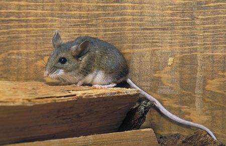 Deer mice pose a significant health threat because they are the ...
