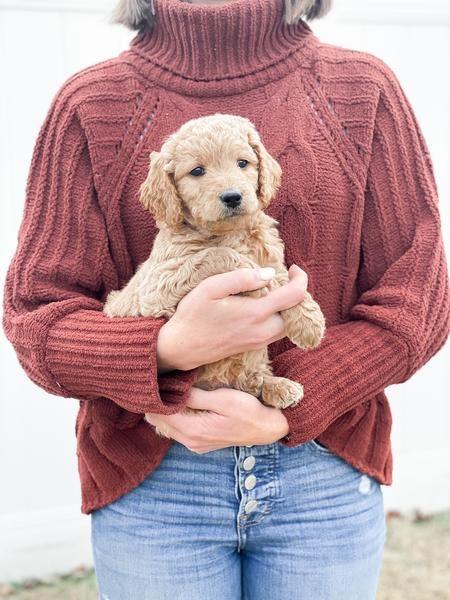 F1b Mini Goldendoodles For Sale Goldendoodles For Sale