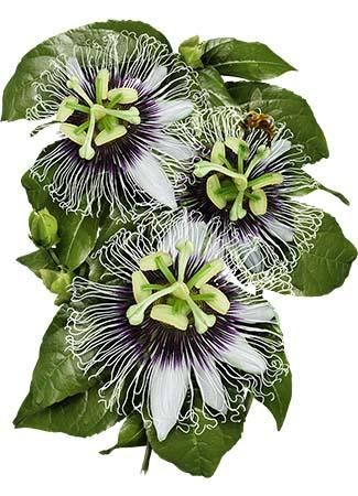 Purple Passion Flower Seeds Passiflora Edulis Hage