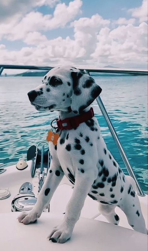 A Dalmatian puppy's first time on a boat! - pets - A Dalmatian p. - A Dalmatian puppy's first time on a boat! – pets – A Dalmatian puppy's first time on a boat! Super Cute Puppies, Cute Dogs And Puppies, Baby Dogs, Doggies, Puppies Puppies, Baby Weiner Dogs, Cute Puppy Pics, Baby Dachshund, Aussie Puppies