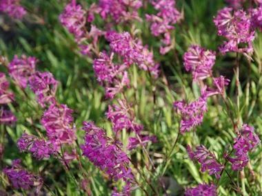 Firletka Smolka Byliny Baza Roslin Plants Flowers