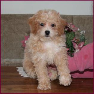 Bichon Poodle Puppies For Sale Poochon Dog Breeders Iowa Poodle