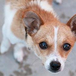 San Diego Ca Chihuahua Meet Betsy A Pet For Adoption Chihuahua Pet Adoption Pets