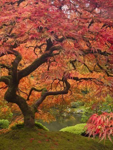 Photographic Print Japanese Maple Portland Japanese Garden Poster By William Sutton Portland Japanese Garden Japanese Landscape Japanese Maple Tree Landscape