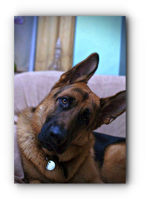 See The All German Shepherd Breeds German Shepherd Rescue