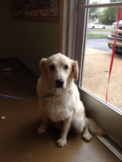This Is Riley And He Is Approx 10 Months Old He Was Rescued Form A Rural Arkansas Shelter Where He Was Crate Training Golden Retriever Rescue Golden Retriever