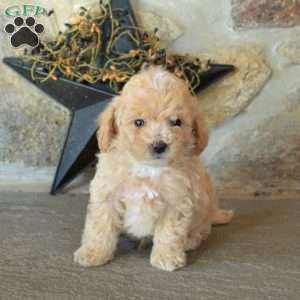 Bich Poo Puppies For Sale Puppies Greenfield Puppies Puppies For Sale