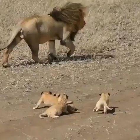 210 Ideas De Leone S Lions En 2021 Felinos Leones Animales Animales Salvajes