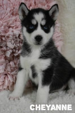 Husky Puppies For Sale Husky Puppy Siberian Husky Puppies Puppies