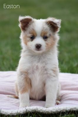 Easton Mini Australian Shepherd Puppy For Sale In Fresno Oh In 2020 Puppies For Sale Puppies Mini Australian Shepherds