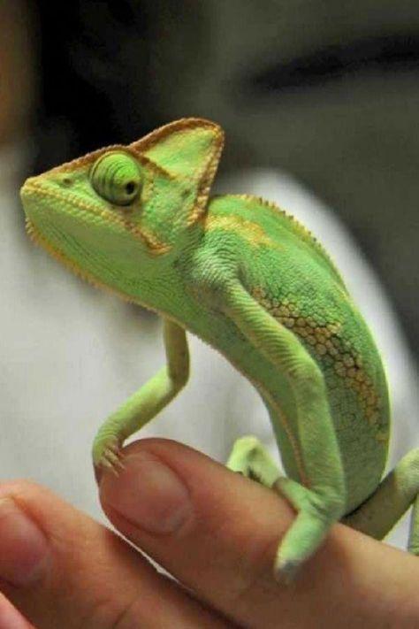 French Bulldog Blue Cute Reptiles Chameleon Pet Animals For Kids