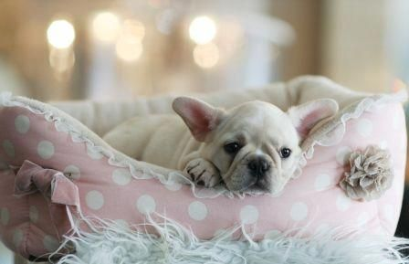 Fallon The French Bulldog Puppies For Sale Frenchbulldog Frenchy