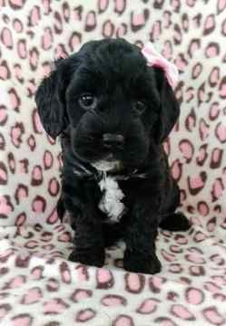 Cocker Spaniel Poodle Miniature Mix Puppy For Sale In Lancaster Pa Adn 70330 On Puppyfinder Com Gender Fe With Images Poodle Puppy Cocker Spaniel Poodle Dogs And Kids