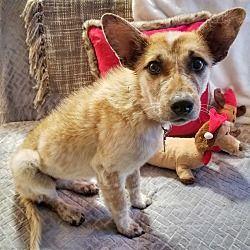Denver Co Blue Heeler Meet Mali A Pet For Adoption With Images Pet Adoption