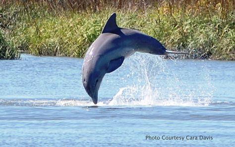 Palmetto Dunes, the dolphin love to entertain us.