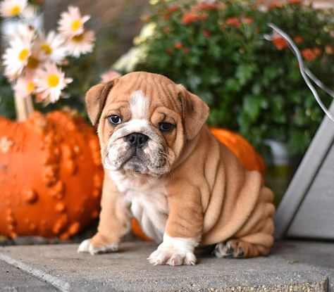 English Bulldog Puppies By Christy Lightner Day On A Freakin Dorable 3 Cute Bulldog Puppies