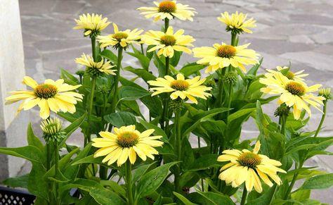 Echinacea Seeds Chiquita Dwarf Hybrid Coneflower Rare Variety 15 Seeds Echinacea Plant Seedlings Ornamental Plants