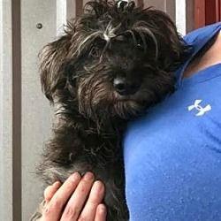 Rocky Hill Ct Schnauzer Miniature Meet Dani A Dog For Adoption